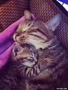 5 Reasons A Mother Cat Might Abandon Or Reject Her Young - Katzen Cute Cats And Kittens, I Love Cats, Crazy Cats, Kittens Cutest, Ragdoll Kittens, Siamese Cats, Beautiful Cats, Animals Beautiful, Pretty Cats