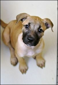The Hunger Games Pups: 4 2MO Cane Corso/Shepherd Mix puppehs. Are you Team Gale or Team Peeta?