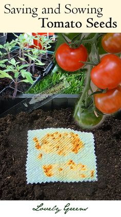 Saving and Sowing Tomato Seeds ~ start sowing in late January/Feb for early crops