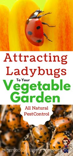Attracting Ladybugs to Your Vegetable Garden. All Natural / Organic Pest Control.