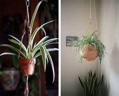 Plante d'intérieur : les bienfaits du Chlorophytum