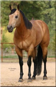 Bo Jo River foundation bred buckskin stallion in Montana. He is 75% Foundation Three Bars, Joe Reed, King, The Old Man, and Leo