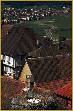Nests of White Storks Adorn Alsace Rooftops