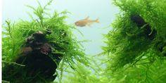 8: Taxiphyllum barbieri - Tropica Aquarium Plants