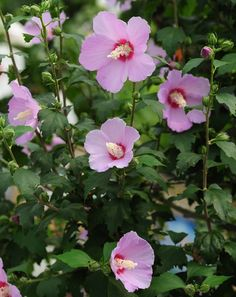 [광화문] 무궁화 꽃이 피었습니다. / [Gwanghwamun] Rose of shron ※ [사진제공_문화체육관광부_공감포토] 본 저작물의 무단전제 및 재배포를 금합니다. copyright ⓒ by mcst_(photo.korea.kr/) / All pictures can not be copied without permission.