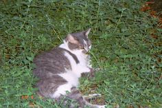 Want cats? Add catnip to your garden.