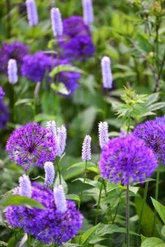Persicaria bistorta and Allium