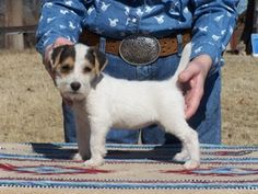 long haired jack russell terrier puppies for sale in kent - Google Search