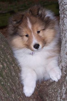 sheltie puppy....one of our 5 Shelties is a puppy & wow does she get in trouble!!But we love her anyway!!!!