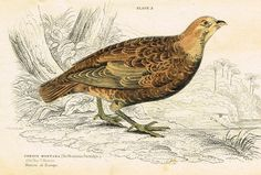 """Jardine's Birds - """"THE MOUNTAIN PARTRIDGE"""" - Hand-Colored Engraving - 1833"""