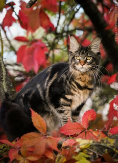 Maine Coon cat by Ludmila Pankova tessa.lv