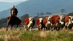 Australian stockman rounding up cattle . Macedon Ranges, Gado, Yarra Valley, Horses And Dogs, Rind, Australia Travel, Picture Wall, Cattle, Cowboys