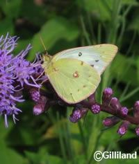 All the butterfly gardening plants you could want in one convenient list! –North American Butterfly Association.