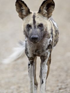 AFRICAN WILD DOG PAINTINGS | African Wild Dog (African Hunting Dog) (Cape Hunting Dog) (Lycaon ...