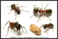 Camponotus ligniperdus / ligniperda