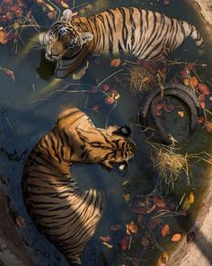 Hintergrundbilder Acne And oily Skin Acne is a real cosmetic problem. Beautiful Creatures, Animals Beautiful, Tatoo Tiger, Labo Photo, Animals And Pets, Cute Animals, Images Esthétiques, Arte Sketchbook, Nature Aesthetic