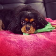 Im bathed and lying on Duckie. Charles Spaniel, Cavalier King Charles, Spaniels, Camilla, Projects To Try, Kit, Stuff To Buy, Animals, Noel