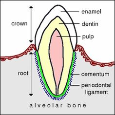 Basic anatomy of a tooth.