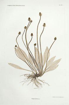 Constantin von Ettingshausen - Pincushion Flower