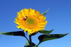 Sunflower with honeybees near Seaside Oregon Seaside Oregon, Pacific Northwest, North West, Plants, Photos, Pictures, Plant, Planets