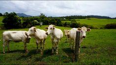 Cows #roadtrip #australia #freedom #luftmensch #luftmenschren #followyourdreams #journey #travel #picoftheday#instagood #photography #blog