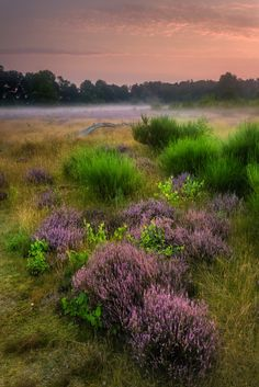 """Haze over the Moorland - <a href=""""https://www.facebook.com/jurgencornelissenfotografie"""">FACEBOOK</a> - <a href=""""https://twitter.com/JuCoFotografie"""">TWITTER</a> - <a href=""""https://www.instagram.com/jurgencornelissen25021985/"""">INSTAGRAM</a>The """"Hoge Mierdse Heide"""" photographed on the westside on august 19th during sunrise at the moment the sun is coming over the trees. Behind the heather is a pond that is creating the mist and sending it to me in waves.Dutch/Nederlands:Hoge Mierdse heide aan…"""