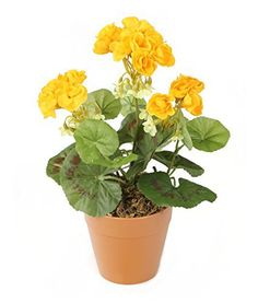 Closer to Nature Artificial 24cm Yellow Zonal Geranium Plug Plant - Pot Not Included Colour: YellowSize: Approximately Height 24cmBotanically Accurate: YesUV Resistant: YesOutdoor Suitable: YesA vibrant and highly realistic plug bedding plantMade using the finest materials and the most advanced manufacturing techniques to ensure botanical accuracyPerfect in hanging baskets, window troughs, planters, pots, outdoor bedding and indoor arrangementsApproximate Height 24cm (9&#824