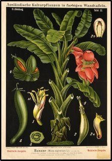 BibliOdyssey: Dutch Botanical Wall Charts 1870-1960