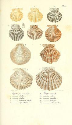 Shells prints! #shellcollection #robertbdance #shell Leçons élémentaires sur l'histoire naturelle des animaux :. Paris :J.J. Dubochet, Le Chevalier et Ce, Éditeurs,1847.. Scallop shells
