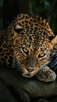 Leopard relaxing on a stone