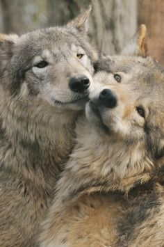 Snuggling wolves.