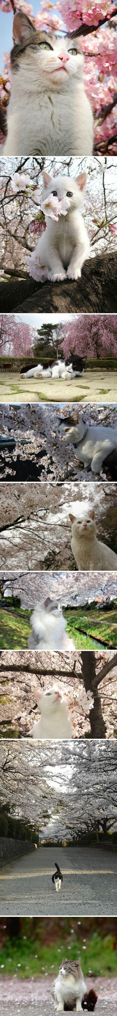 Kitties and cherry blossoms