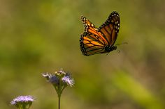 Monarch in flight  #summer