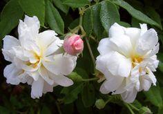 Climbing Noisette Rose: Rosa 'Princesse de Nassau' (France, before 1829)