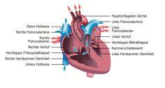 Wie funktioniert das Herz? Über die Arbeit und den Aufbau eines raffiniert aufgebauten Organs - Ratgeber Herzinsuffizienz