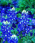 Fine Art American - Texas Bluebonnets