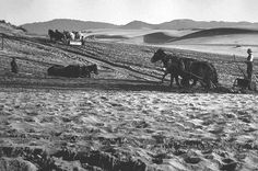 Farmers in the Richmond District plowing to make farms out of dunes in the 1880s