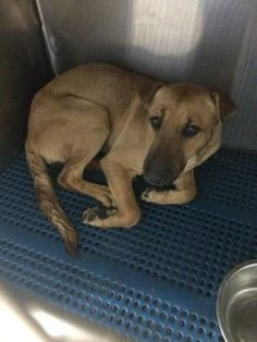 URGENT!!! At Risk To Be Killed: Sep 8, 2016 * ID # 33298026 Breed:Retriever Age: Young adult Gender: Female Size: Large Shelter Information: El Paso Animal Shelter 5001 Fred Wilson Ave El Paso, TX Shelter dog ID: 33298026 Contacts: Phone: 915-842-1000 Name: Adoptions email: ESDAS@elpasotexas.gov Read more at http://www.dogsindanger.com/dog/1472169785758#Ff70sbFC2ZpipPAs.99