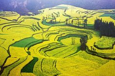 Golden Ocean of Rapeseed Flowers in Luoping, Yunnan Province