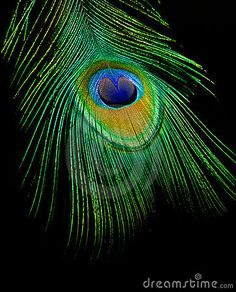 Peacock Stock Photos, Images, & Pictures – (16,674 Images) - Page 2