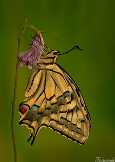 Butterfly -Macaon