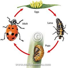Scientific Illustration of ladybug life cycle because I found a pupa of the ladybug on the butterfly weed.