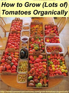 How to Grow Tomatoes Organically - From planting to harvest, 8 simple steps to Homegrown Tomatoes Without Chemicals, plus innovative gardeni... grow lot, innov garden, garden tomatoes, simpl step, growing tomatoes, homegrown tomato, tomato organ, tomato growing, how to grow tomatoes