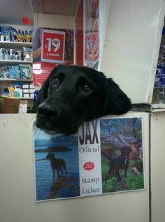 Jax is the official stamp licker at the post office Click here for more adorable animal pics!
