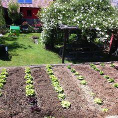 Últimas lechugas en nuestro huerto ecológico. #casarural #Ribadesella una casa rural diferente. http://ift.tt/1T4uTNx http://ift.tt/1QvLkjd