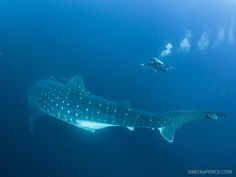 Huge pregnant female whale shark and diver at Darwin Arch in the Galapagos Islands