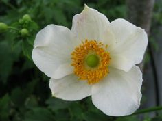 Japanese Thimbleweed, Chinese Anemone 'Pretty Lady Maria' (Anemone hupehensis) Japanese Anemone, Fall Flowers, Pretty Woman, Flora, Mary, Chinese, Garden, Plants, Autumn Flowers