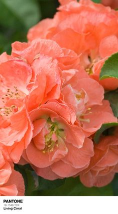 Proven Winners - Double Take Peach™ - Quince - Chaenomeles speciosa orange peach plant details, information and resources. Garden Shrubs, Flowering Shrubs, Landscaping Plants, Peach Flowers, Beautiful Flowers, Dream Garden, Garden Art, Chaenomeles, Coral Garden