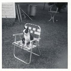 Vintage Boston Terrier snapshot.