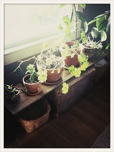 House plants in terra cotta pots, placed on a homemade wood shelf.
